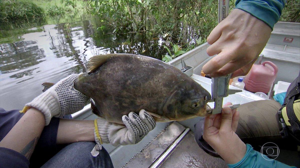 'Peixe jardineiro' ajuda a reflorestar o Pantanal dispersando sementes: https://t.co/Dd4RquUXAz 🌱🐟