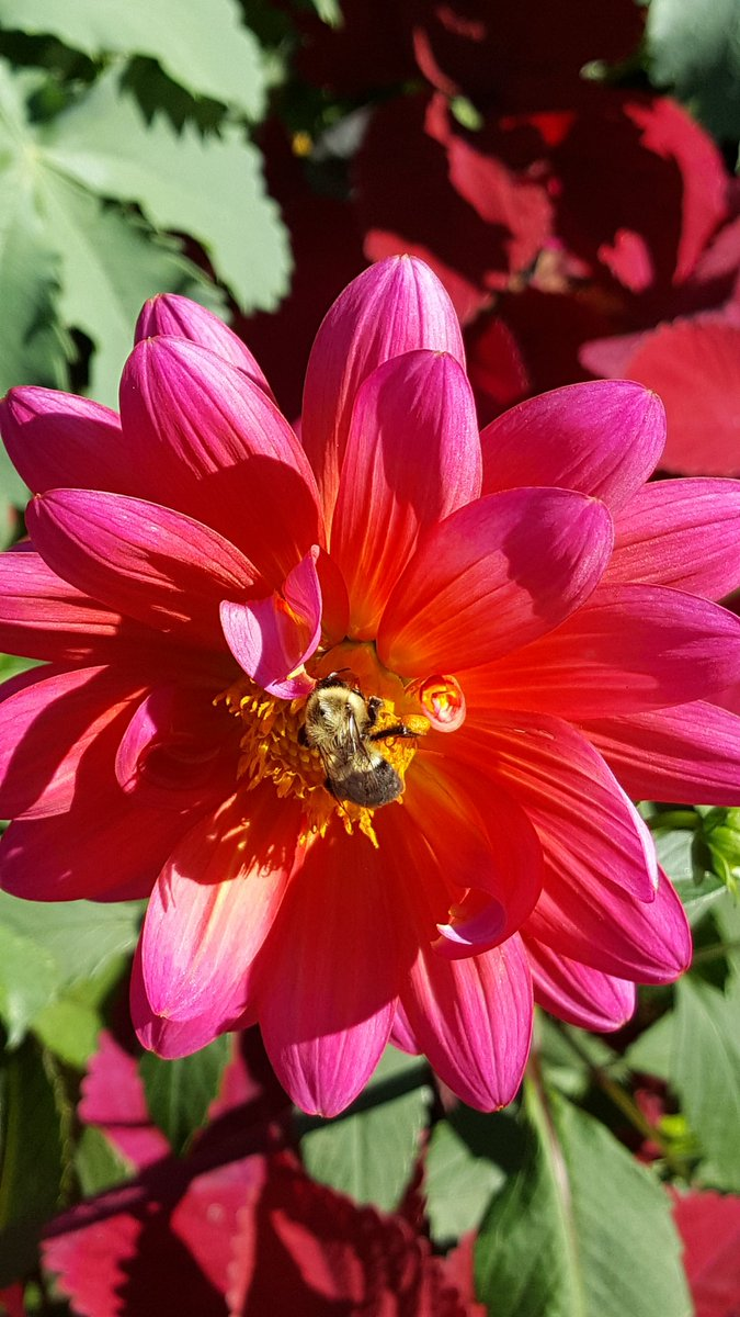 1 #bee, 2 #bees, 3 bees, on 1 #flower #Dahlia #CentralParkNYC #CentralPark #ConservatoryGarden #NYCparks #flowers #dahlias #fleur #NewYork<br>http://pic.twitter.com/a2lUivzNp1