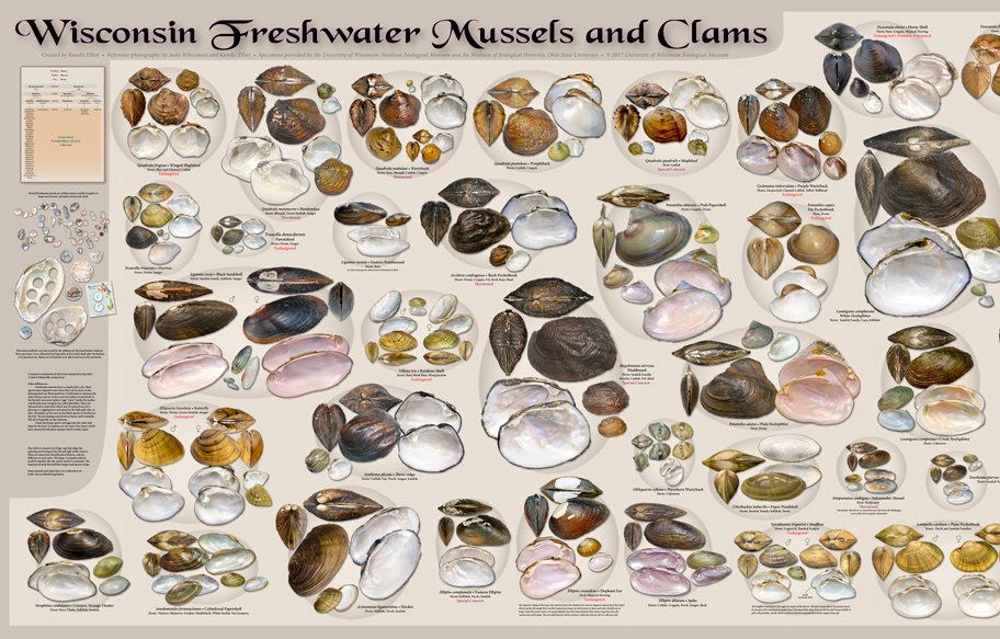 https:// charge.wisc.edu/zoology/items. aspxPoster &nbsp; … : Wisconsin Freshwater Mussels and Clams,#freshwatermussel #bivalve #Wisconsin #mollusc<br>http://pic.twitter.com/ww6m4I9EQ9