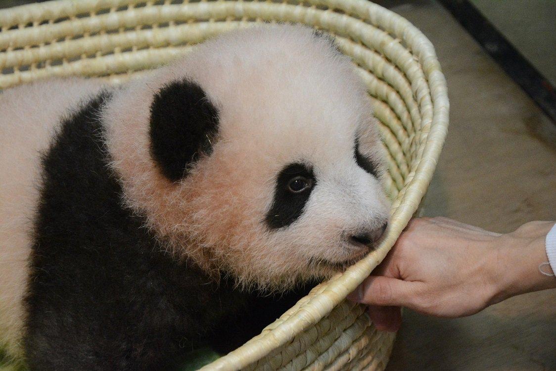 ジャイアントパンダの赤ちゃんの名前は「シャンシャン」(香香)に決定しました! 明るい将来が花開きますように。
