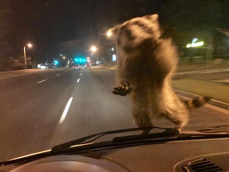 コロラド州の警察がパトカーで走行中にアライグマの襲撃を受けた模様