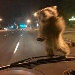 抑えきれない躍動感!パトカーに襲撃してきたアライグマがこちら!