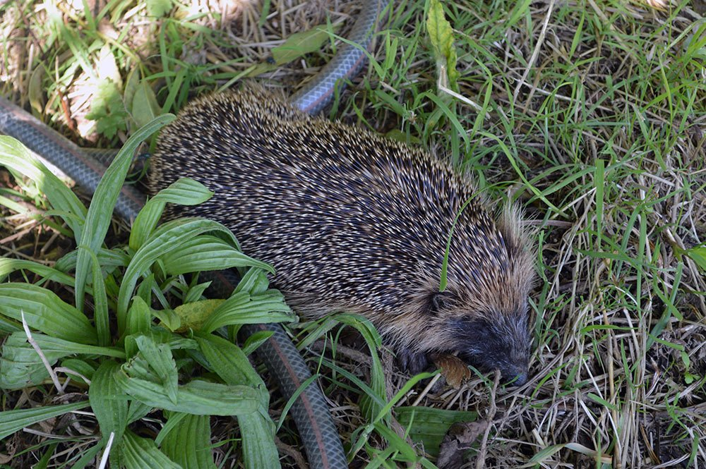 I&#39;ve found a poorly hedgehog at our #allotment. Little guy was weak, cold, &amp; unsteady so I&#39;ve rushed him to the vet. Send positive thoughts <br>http://pic.twitter.com/q9lBi7jmaI