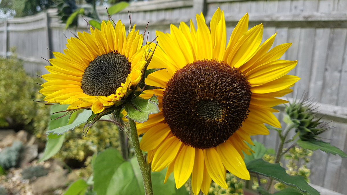 Little and large... #sunflowers #autumnbeauty<br>http://pic.twitter.com/gtzglNoOkc