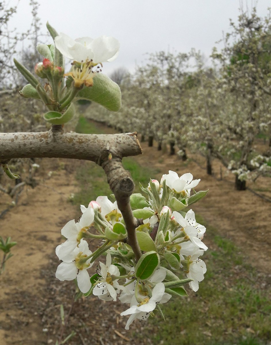 The Spring cherry blossoms &amp; blooms @ #KlondykeCherryFarm were showing off on #HeritageWeekend  So pretty  #WeDoTourism #discoverctwc<br>http://pic.twitter.com/NoqZEuOzXI