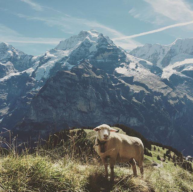 Another lovely scenery! #weloveit #sheep #hikingparadise #mürren #murren #landscape #wanderlust #alps  @am_preda lovely picture, thank you!<br>http://pic.twitter.com/kzgGRVdXRm