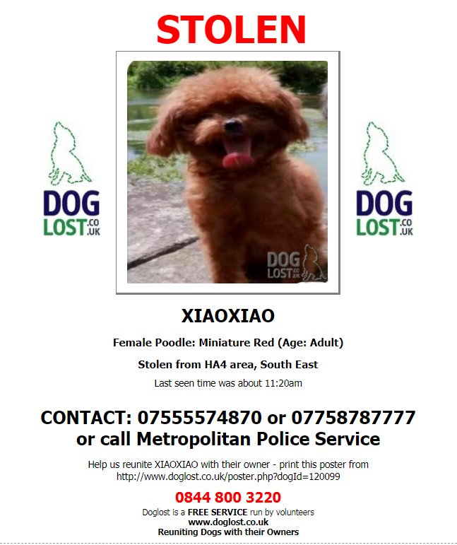 XIAOXIAO #female #miniature #red #poodle considered #STOLEN from home #South Ruislip #HA4 @metpoliceuk investigating  http://www. doglost.co.uk/dog-blog.php?d ogId=120099#.Wck_cbKGOUk &nbsp; … <br>http://pic.twitter.com/QvbJtzT9TC