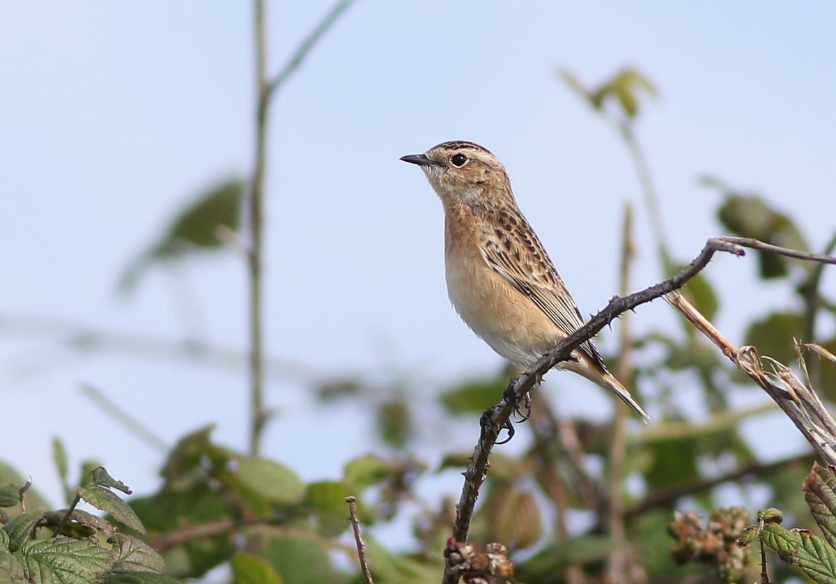 6 Yellow-broweds nice @FlamboroughBird, but Turtle Dove &amp; 13 Whinchats more unusual for 2017 #sign of the times <br>http://pic.twitter.com/8uLvqC4att