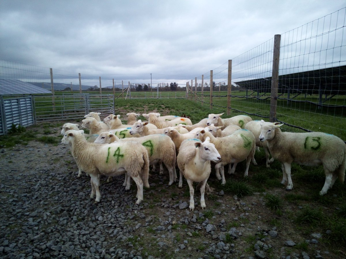 This poor shepherd hasn&#39;t got an EID reader so uses SPID (Spray Paint Identification) instead. Easy to read &amp; cheap  #Exlana #sheep365 <br>http://pic.twitter.com/Guvlk8gASh
