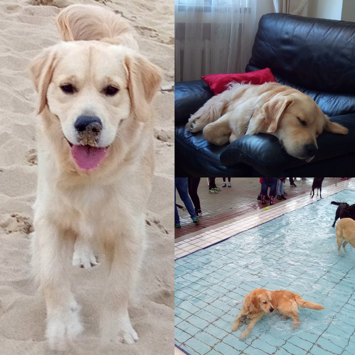 #HappyBirthday @Mozart_57  Mozart for your one year ! congratulation #goldenretriever<br>http://pic.twitter.com/T7YJf9tMvs