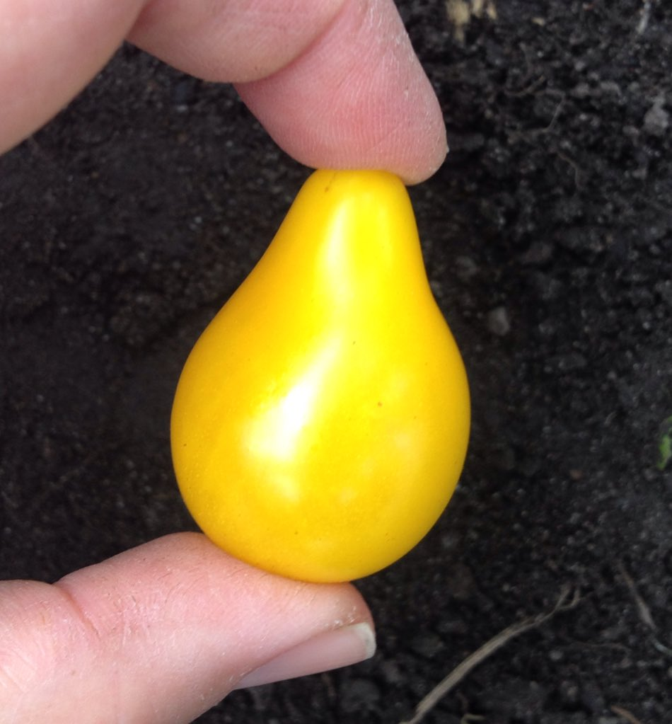 First ever yellow pear tomato! It wasn&#39;t a massive feast having cut it into four so everyone has a taste but still. #allotment #growyourown<br>http://pic.twitter.com/us4q0UyaJw