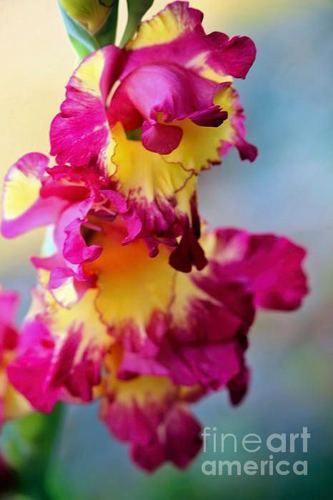 A Gladiolus 3 by Victor K  https:// buff.ly/2xryhko  &nbsp;   #HomeDecor #wallart #art #cards #home #style #flower #floral #Gladiolus #sword_Lily<br>http://pic.twitter.com/MO3FYJORwo