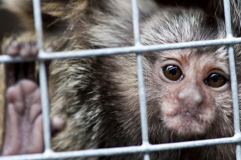 Shocking rise in number of monkeys used for experiments at MoD warfare...