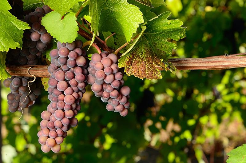 So What's The Difference Between Pinot Grigio, Gris, And Blanc?  https:// buff.ly/2wREWQT  &nbsp;   via @VinePair #winetips #winelover #wine<br>http://pic.twitter.com/SocKwfWfM6