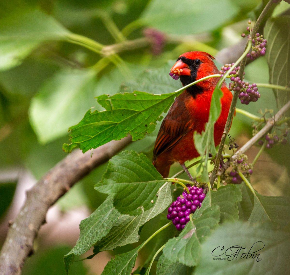 I love beauty berries... #birds #cardinal #beautyberry #red <br>http://pic.twitter.com/V0BqRQHkt9