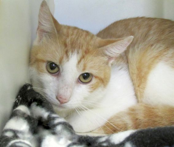 LOYAL LOVE PAPRIKA&#39;s EX WISHES SHY TIMID BOY A GOOD HOME!  Please SAVE HIM BEFORE NOON ON TUES!  #NYC #cats  http:// nyccats.urgentpodr.org/paprika-a11261 68 &nbsp; … <br>http://pic.twitter.com/k5LqGkt98K