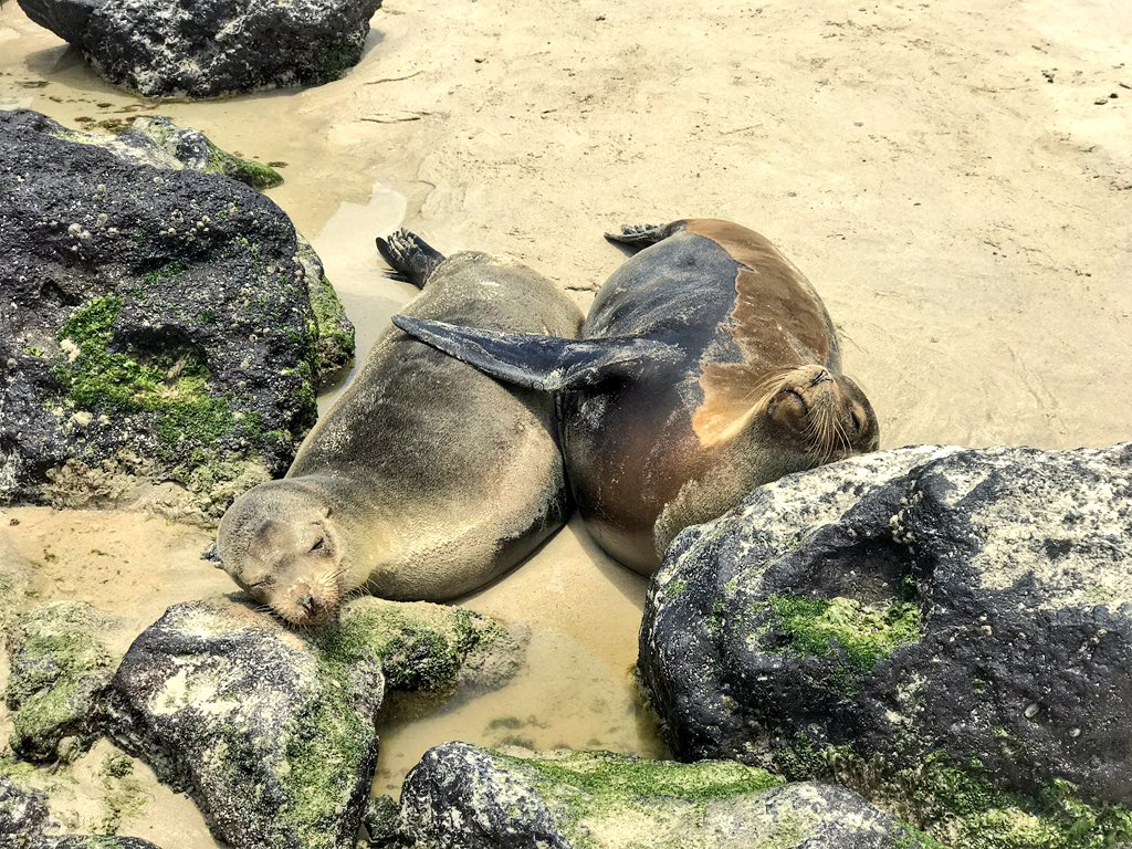 Cuddles on the beach of San Cristobal in #Galapagos. #paradise #travel #beachtime #ecuador @gpsecofriendly<br>http://pic.twitter.com/cdvNYvHLxK