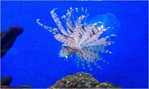 Lionfish puffing up at Manila Ocean Park.  #tropical #fish <br>http://pic.twitter.com/ozoSTsBELY