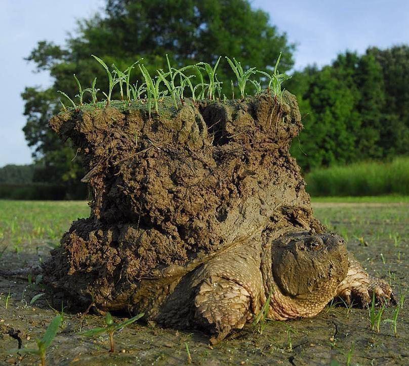 背中が島と化したカメ reddit.com/r/funny/commen…  冬眠から目覚め、穴から這い出る際、草の生えた土ごとごっそり持っていったのでは?とのこと