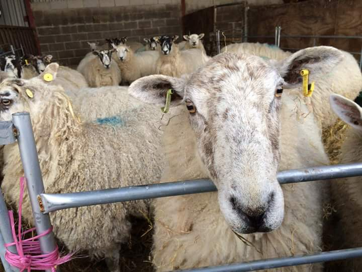 Happy Tuesday to &#39;ewe&#39;... sorry we couldn&#39;t resist! #sheep #ewes #punoftheday #TuesdayMotivation #Derbyshire #farmlife #homereared<br>http://pic.twitter.com/y5seA8Zftm