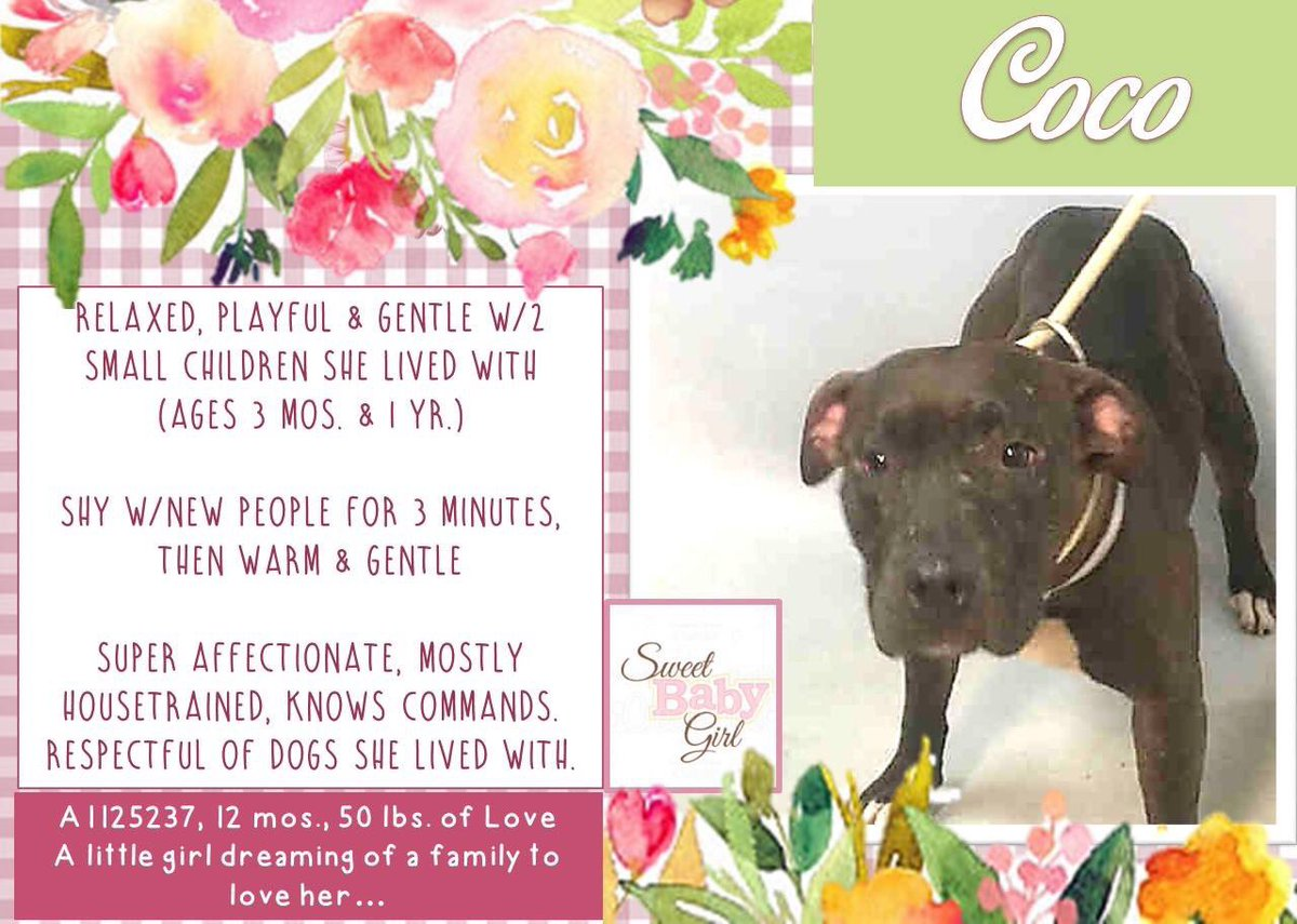 COCO 1 yo Sweet Gentle Fam Pet DMPD by HORRID BAD OWNER W/Brother!  ORDER 9/26 I CALLED NYCACC! NHR  TERRIFIED NO WORDS  FKU #NYC#CUNTS <br>http://pic.twitter.com/X3HSDDmlZG