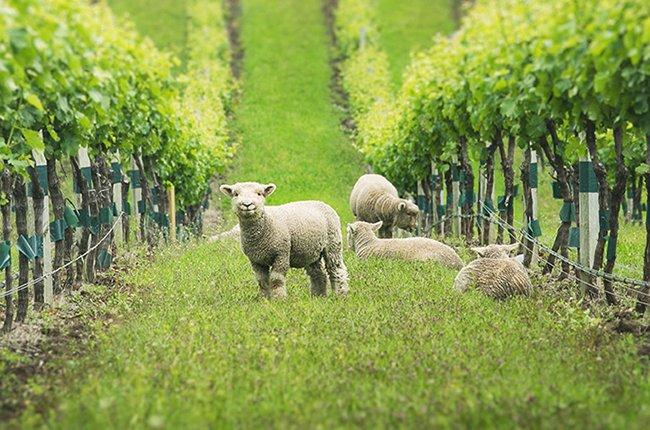 #Wine #Vino: Gallery: Vineyard animals – Unlikely helpers  http:// bit.ly/2xtleiL  &nbsp;   #Vinho<br>http://pic.twitter.com/Z1EWo7ffPO