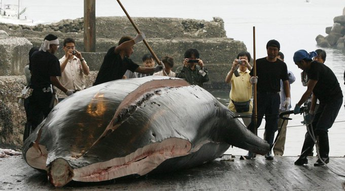 DKpn 9hWsAAQPPY - Japão mata 177 baleias na costa do Pacífico