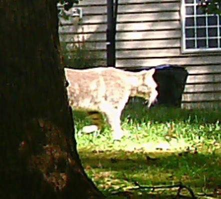 Who&#39;s ready to play #CougarOrNot???? We have our own @DurhamCounty edition: what do you see in these photos? @ABC11_WTVD   @NCWildlife<br>http://pic.twitter.com/ssD1RX0wSX