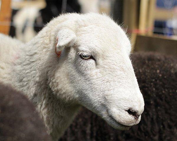 A #herdwick #sheep taken @visithopeshow  http:// peakedinterest.co.uk  &nbsp;   #peakdistrict #countryshow #hope #sheepfarming #farming <br>http://pic.twitter.com/wMdxEJmUl7