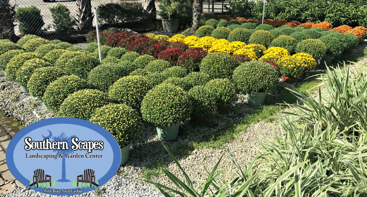 #Mums Are Starting To Pop This Week! Have You Picked Yours Up Yet? # MyrtleBeach #Landscaping #GardenCenter #ShopLocal  #FallColorpic.twitter.com/uAuZDtdyuX