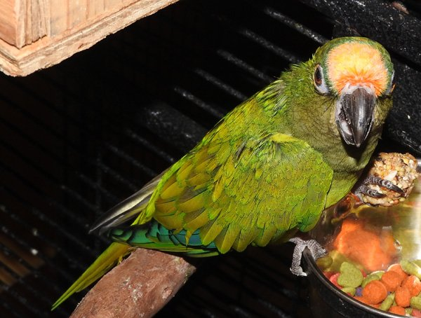 Sheldon, 27 year old peach front conure at dinner