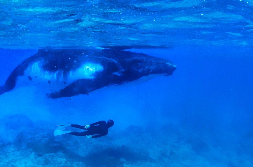 人生でクジラと泳げることなどあるのだろうかと思っていましたが、ついに。撮ってもらった写真で、私が写っています。(本日タヒチの離島にて)