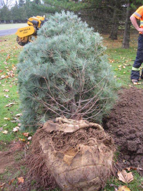 Pines season