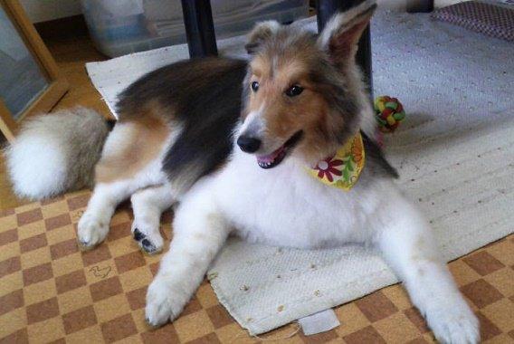 Style Dog Sheltie Merlin