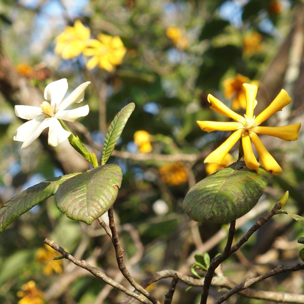 Flowers Of Sri Lanka On Twitter Gardenia Latifolia Indian Boxwood