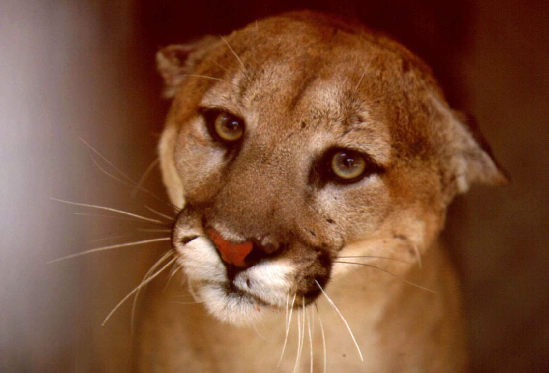 Animal-rights group wants Arizona voters to ban hunting of mountain lions, bobcats https://t.co/VRE2usesy0