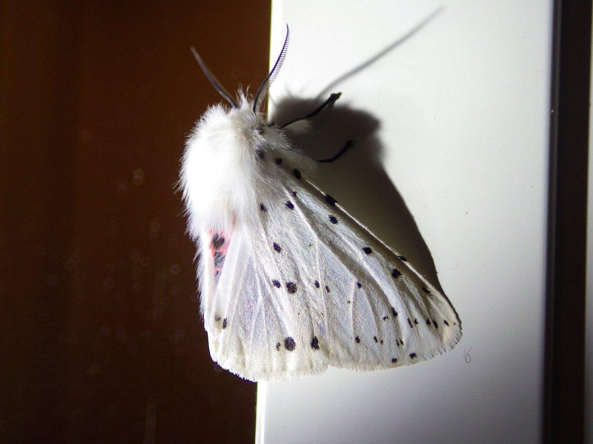もふもふなら、やっぱりこれだな。2016年5月27日、福島県天栄村、唐沢山のブリティッシュヒルズにて撮影。アカハラゴマダラヒトリ。純白のファーを肩から首に巻いたおしゃれさん♪  #モフ曜日 #福島撮影隊 #天栄村