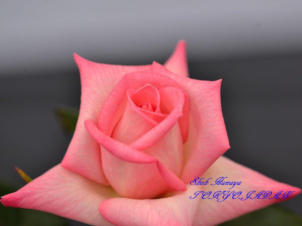 手児奈 Tekona 2 / 2 #国際バラとガーデニングショウ #西武ドーム #バラ #roses #flowers