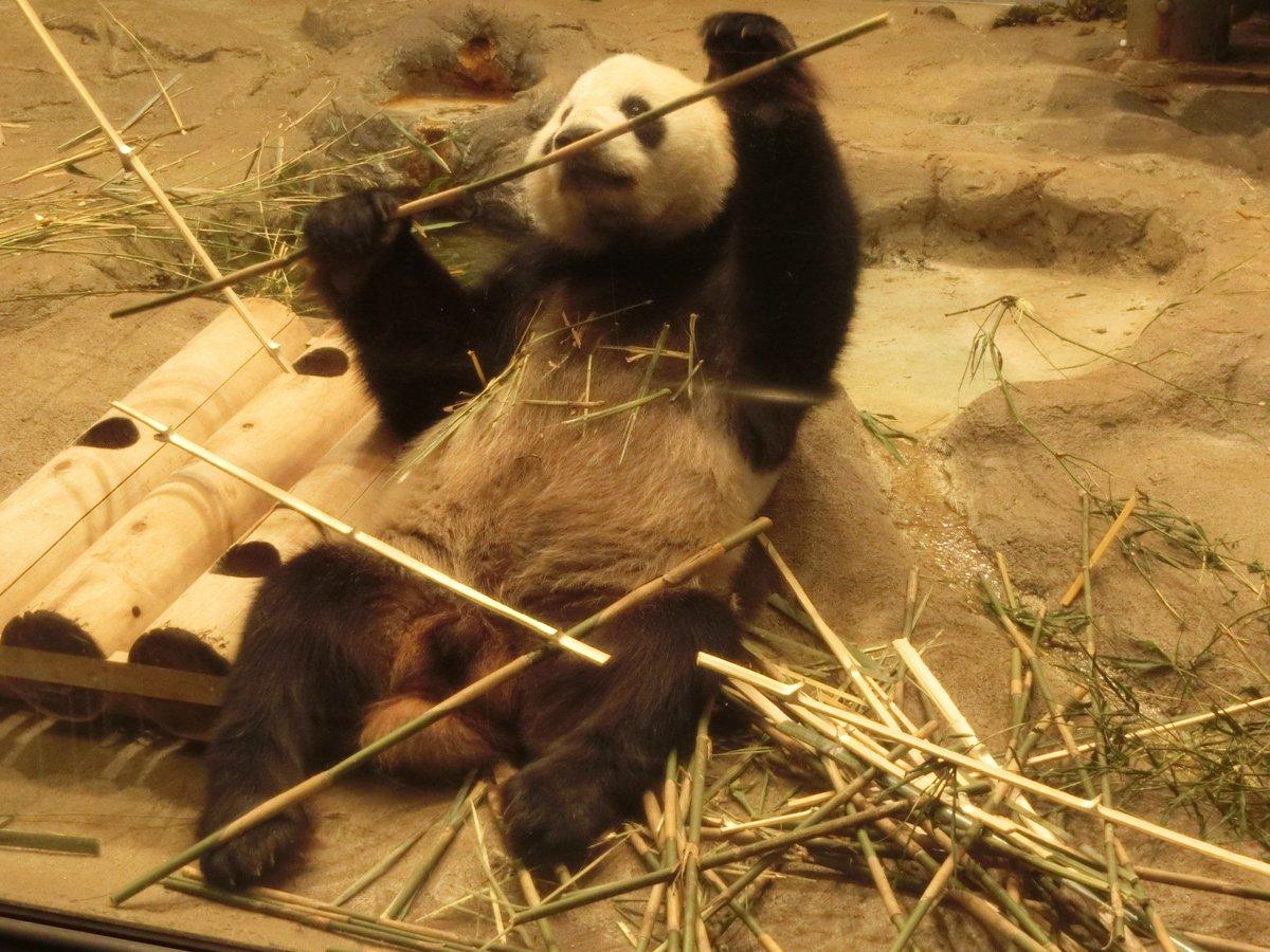 おはようございまーす リーリーでーす 上野動物園開園でーす  #ジャイアントパンダ