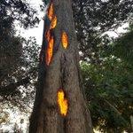 内側から燃える木?!神秘的な木が話題に!