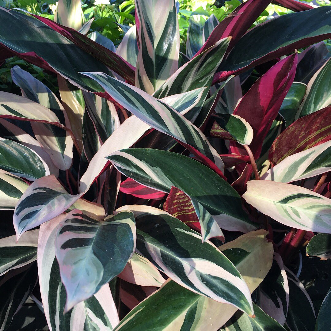 Buchanan S Plants On Twitter Tricolor Ginger Is A Beautiful