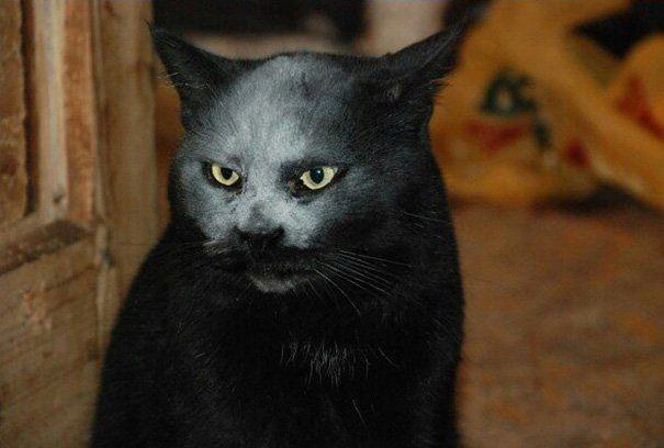 この猫はデビルではありません。小麦粉に顔を突っ込んだ猫です。