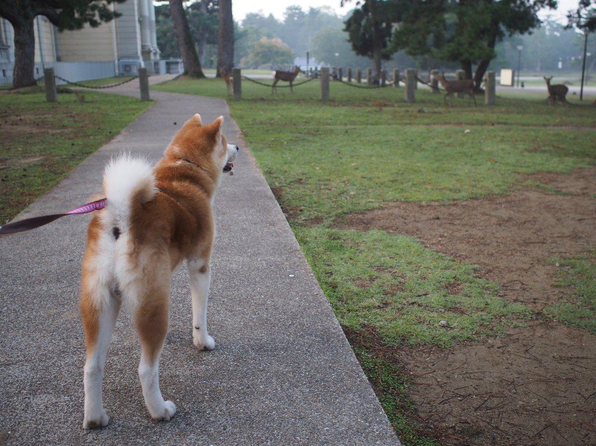昨日は朝6時ごろの奈良公園、東大寺を散歩🐕 いつも観光客でいっぱいだけど、朝は地元の人くらいしかいなくて鹿もノンビリ♪ 軽く朝靄がかかって幻想的でした〜 早起きはいいなぁ涼しかったし