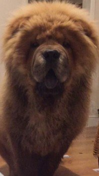 #Lost POSS #STOLEN #ScanMe Chow Chow Male #Durlock #Minster #Ramsgate #Kent #CT12 #CT7 #CT8 #CT9 #CT10 #CT11 #CT13 http://www.doglost.co.uk/dog-blog.php?dogId=120785#.Wd50WdHbZud.twitter…pic.twitter.com/iDGsFyu9yB