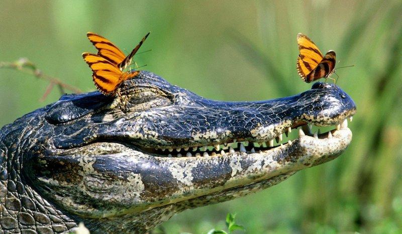 Индикатор бинарных опционов аллигатор