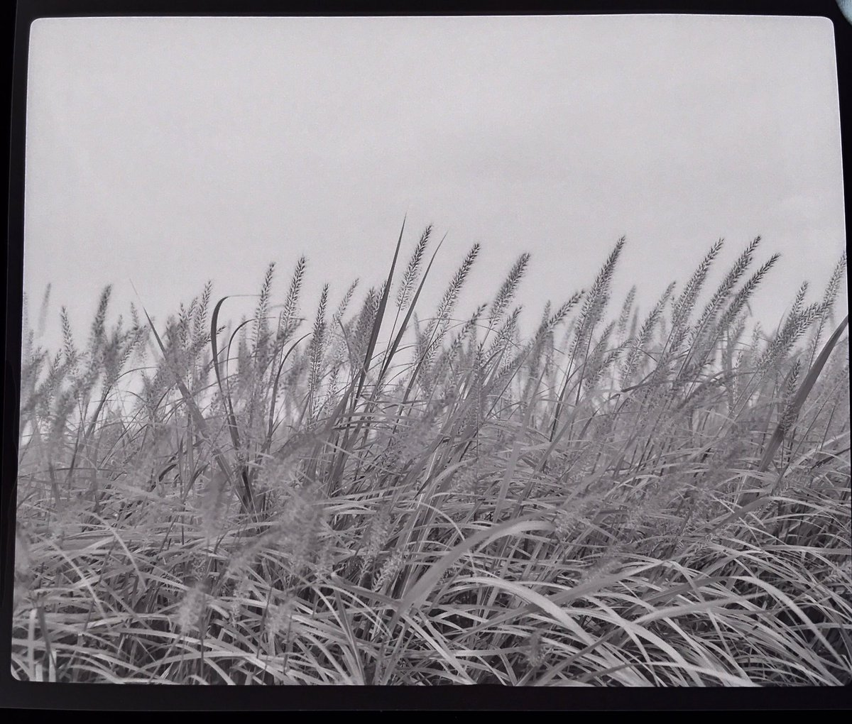 風と草。 #makina670 #fujineopanacros100