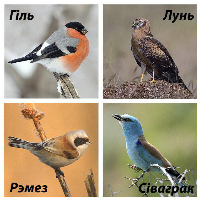 этим птицы беларуси картинки и названия традиционных напольных покрытий