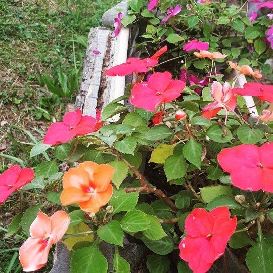 Summer flowers going strong #impatients #summerflowers  http:// ift.tt/2yhxkMn  &nbsp;  <br>http://pic.twitter.com/tPRjTGABnl