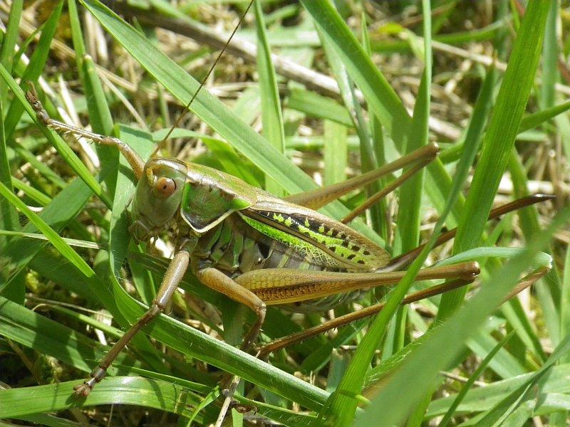 2. ヒガシキリギリス ギースチョンの機織りさん。炎天下大好き。オレンジ色の眼とか、蛍光っぽい黄緑色とか、とてもよい直翅。