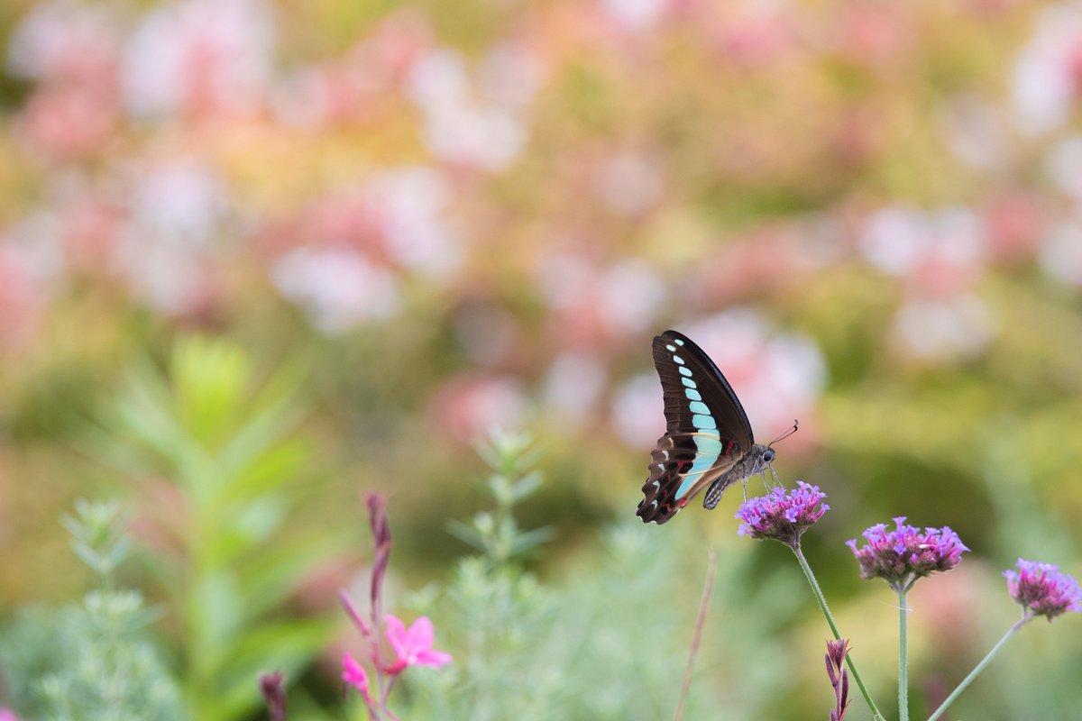 ずっと蝶を追いかけてた  #coregraphy #D5300 #お写ん歩 #Nikon #ファインダー越しの私の世界
